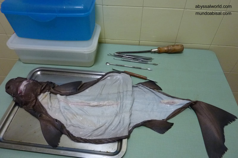 Skin shark. taxidermy process. Sleeper shark